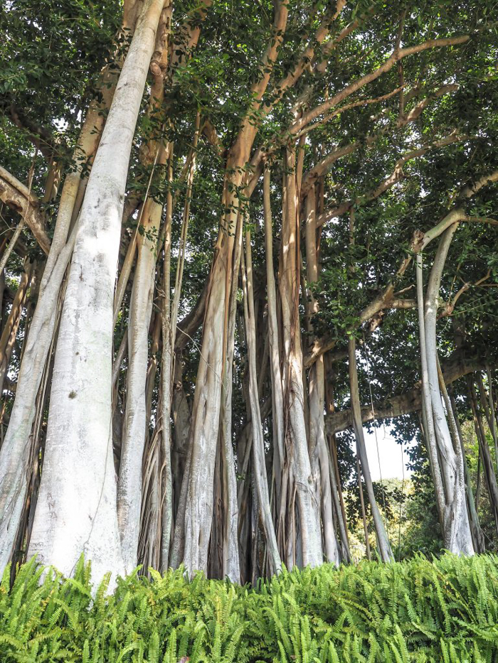 The Ringling // Getting My Italy Fix in Florida | Ringling | Ringling art museum and sculpture garden | Sarasota, Florida | The Ringling art museum | Banyan trees