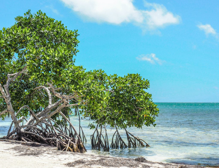 green mangroves | Caye Caulker snorkeling with Caveman Snorkeling Tours