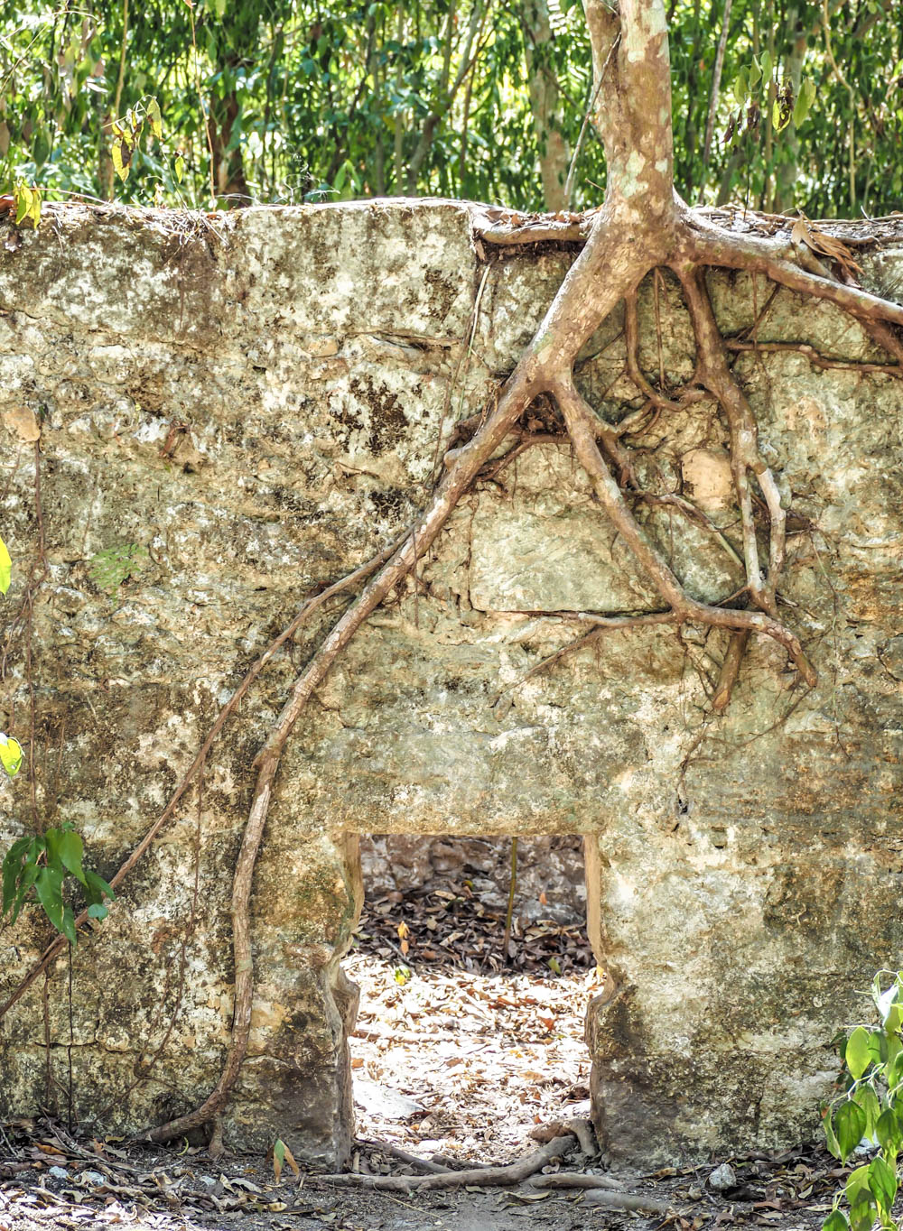 tree roots overgrowing an ancient structure on belize to tikal day trip