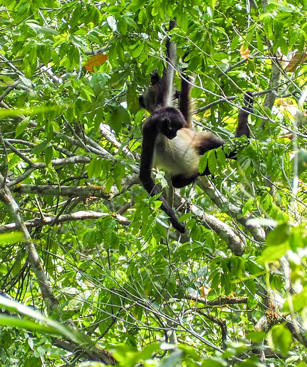 brown and black monkey hanging out in a tree