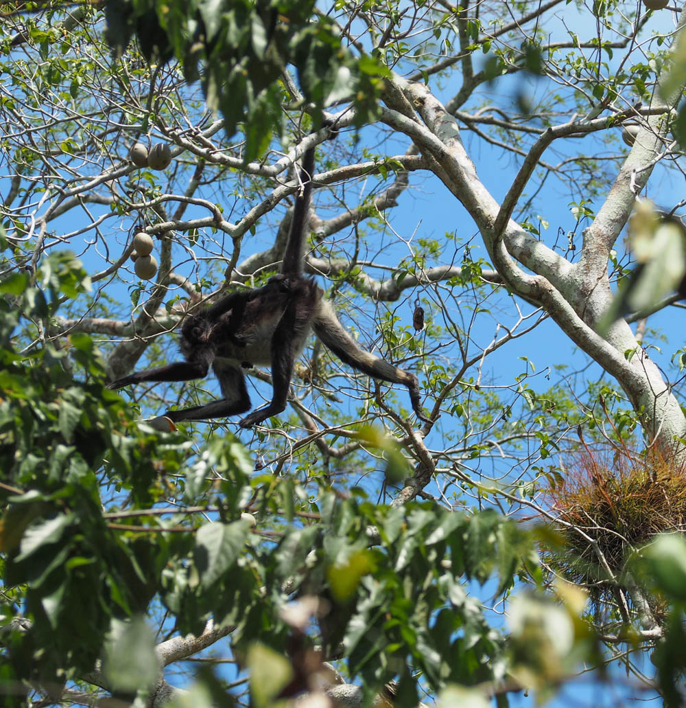 pregnant spider monkey hanging from tree by tail holding a baby