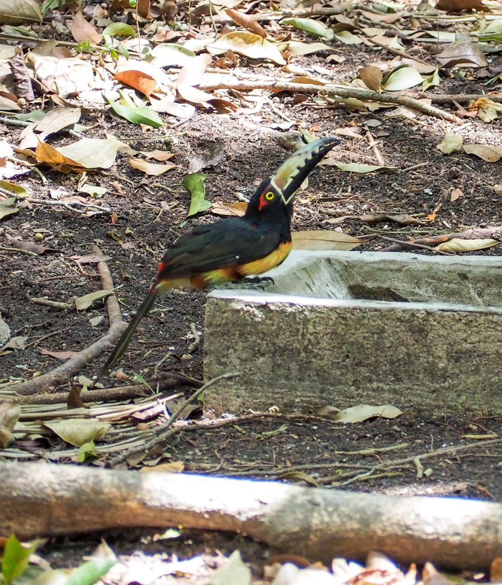 colorful toucan drinking water from a trough on belize to tikal day trip