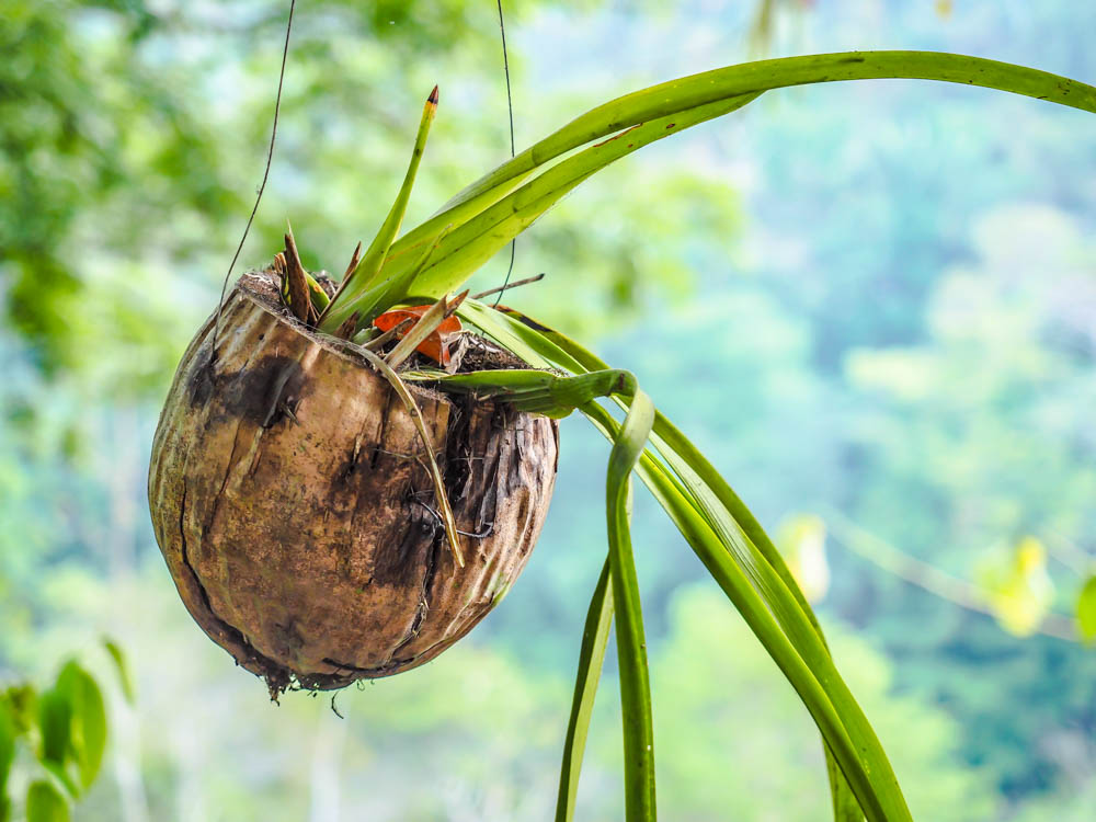 hanging planter made from a coconut at black rock lodge in belize