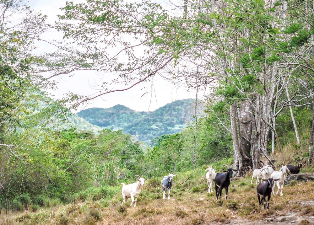 group of white and black goats in the jungle at black rock lodge in belize