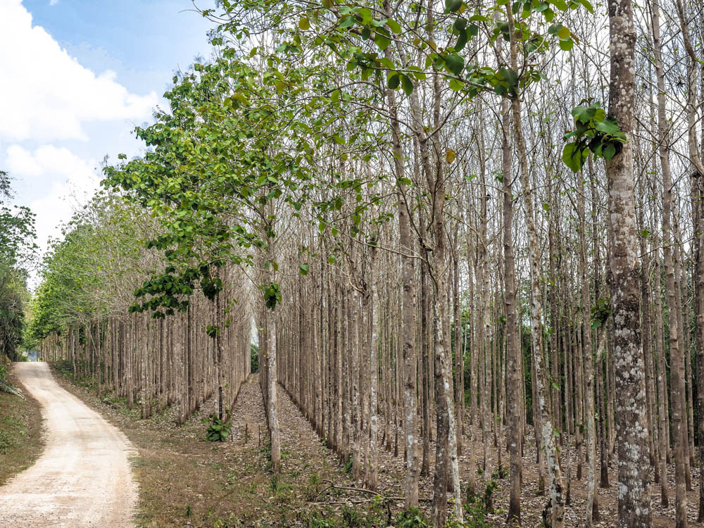 straight rows of thin trees along a path in belize