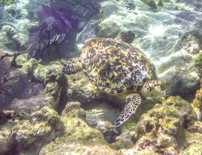 smiling sea turtle | Hawksbill sea turtle while snorkeling in Belize with Caye Caulker's Caveman Snorkeling Tours