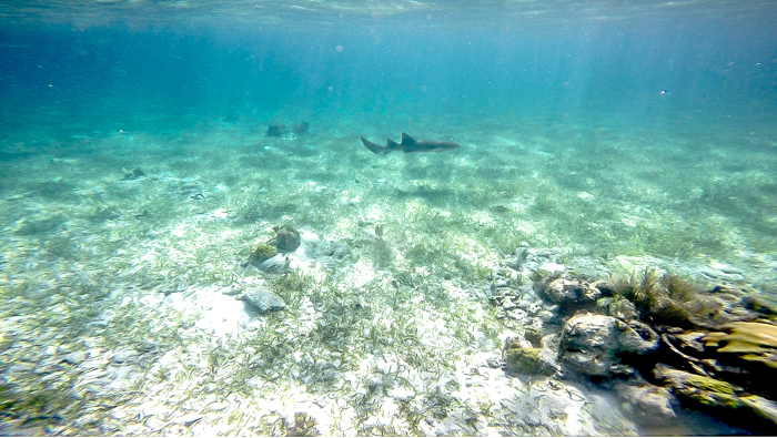 shark far away in the ocean | Snorkeling in Belize with Caye Caulker's Caveman Snorkeling Tours