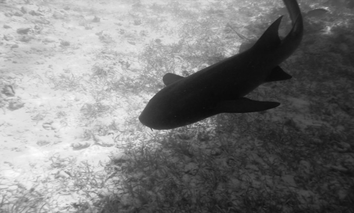 black and white photo of shark silhouette | Caye Caulker snorkeling with Caveman Snorkeling Tours