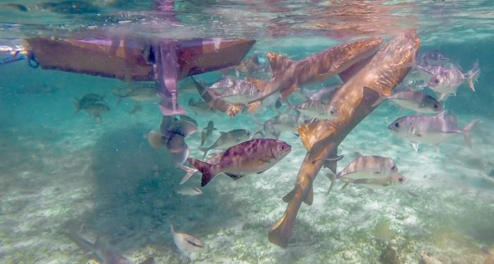 sharks and fish under a boat | Snorkeling in Belize with Caye Caulker's Caveman Snorkeling Tours