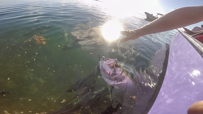 Feeding tarpons with Caveman Snorkeling Tours in Caye Caulker, Belize
