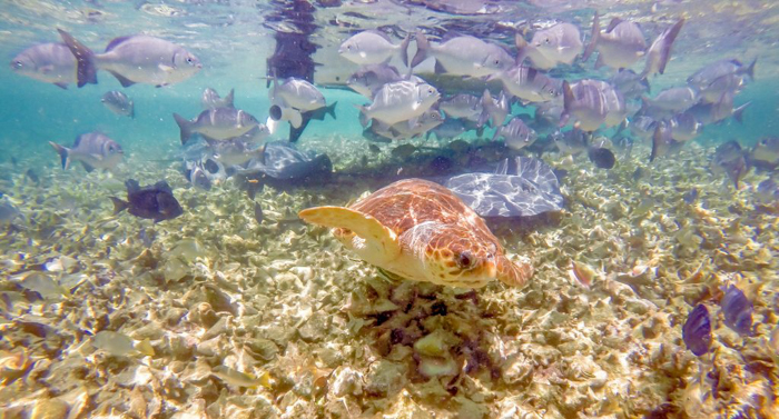 sea turtle and fish in the ocean | Snorkeling in Belize with Caye Caulker's Caveman Snorkeling Tours
