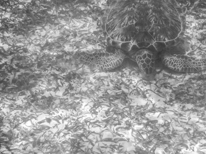 black and white photo of a sea turtle | Caye Caulker snorkeling with Caveman Snorkeling Tours