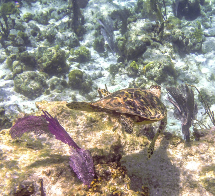 sea turtle swimming away | Caye Caulker snorkeling with Caveman Snorkeling Tours