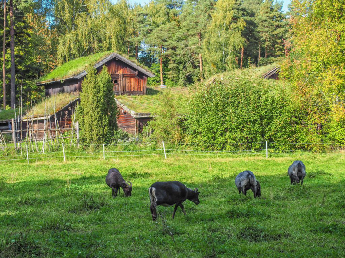 24 hours in Oslo, Norway -- Goats at the Norwegian Folk Museum