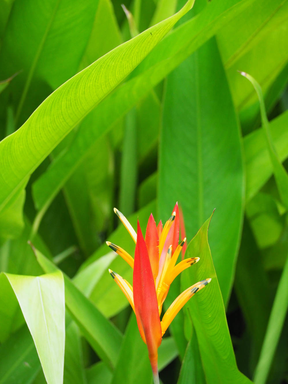 tropical red and yellow flower and green leaves in belize
