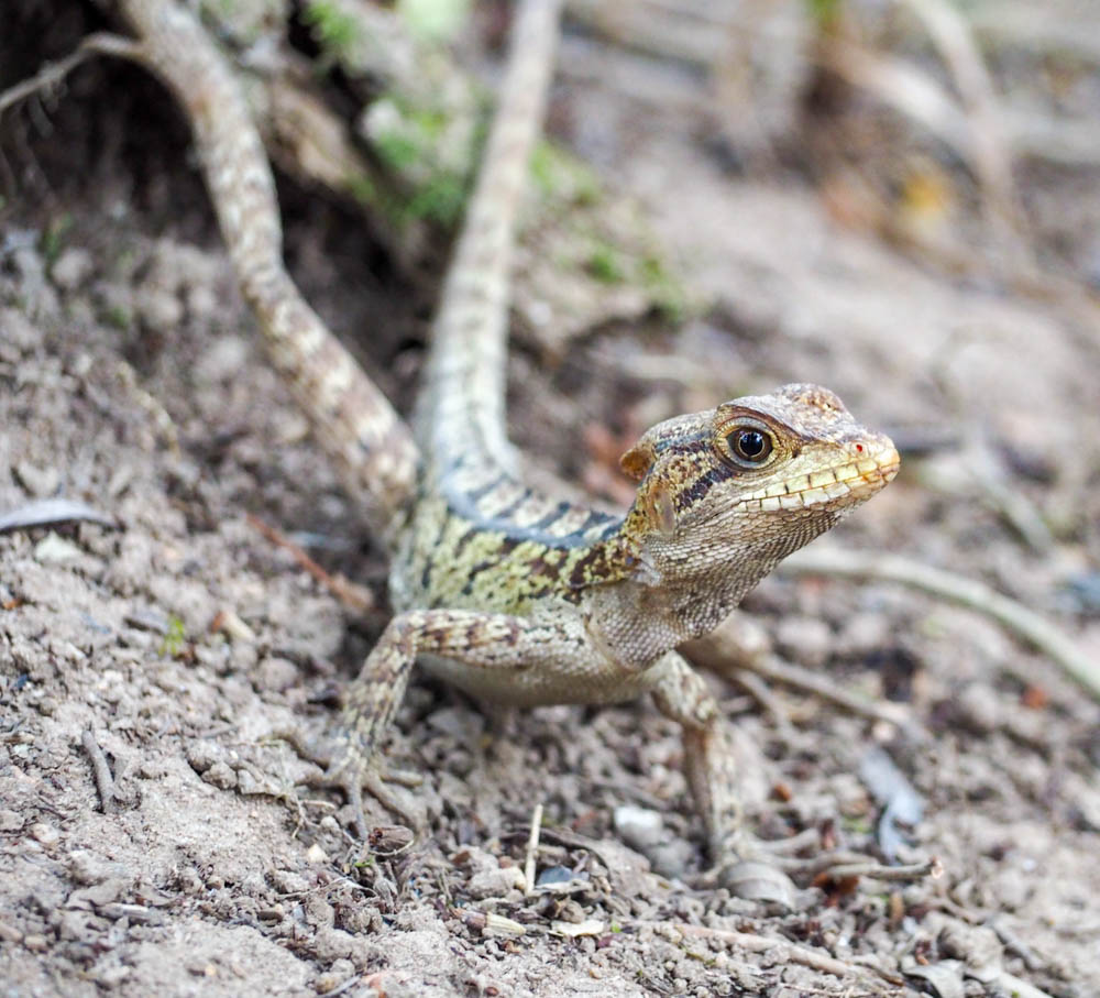 small striped lizard on the ground in belize