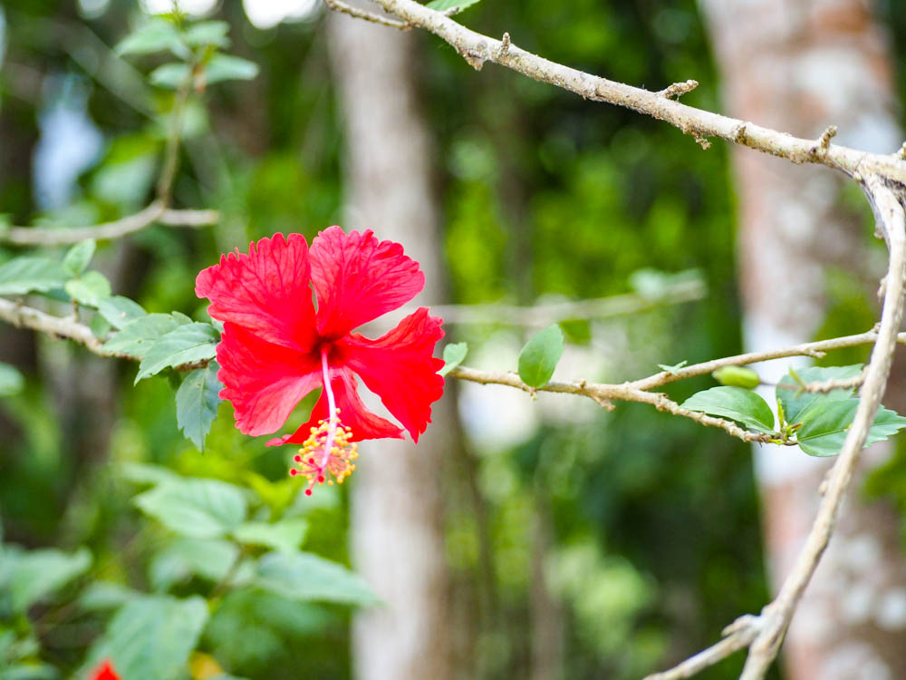 tropical red flower on a vine in belize