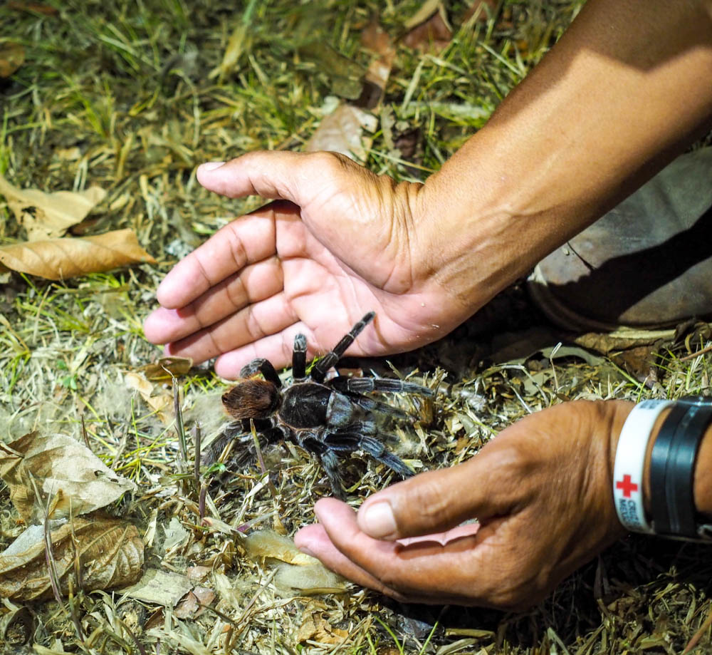hands picking up a tarantula from the ground