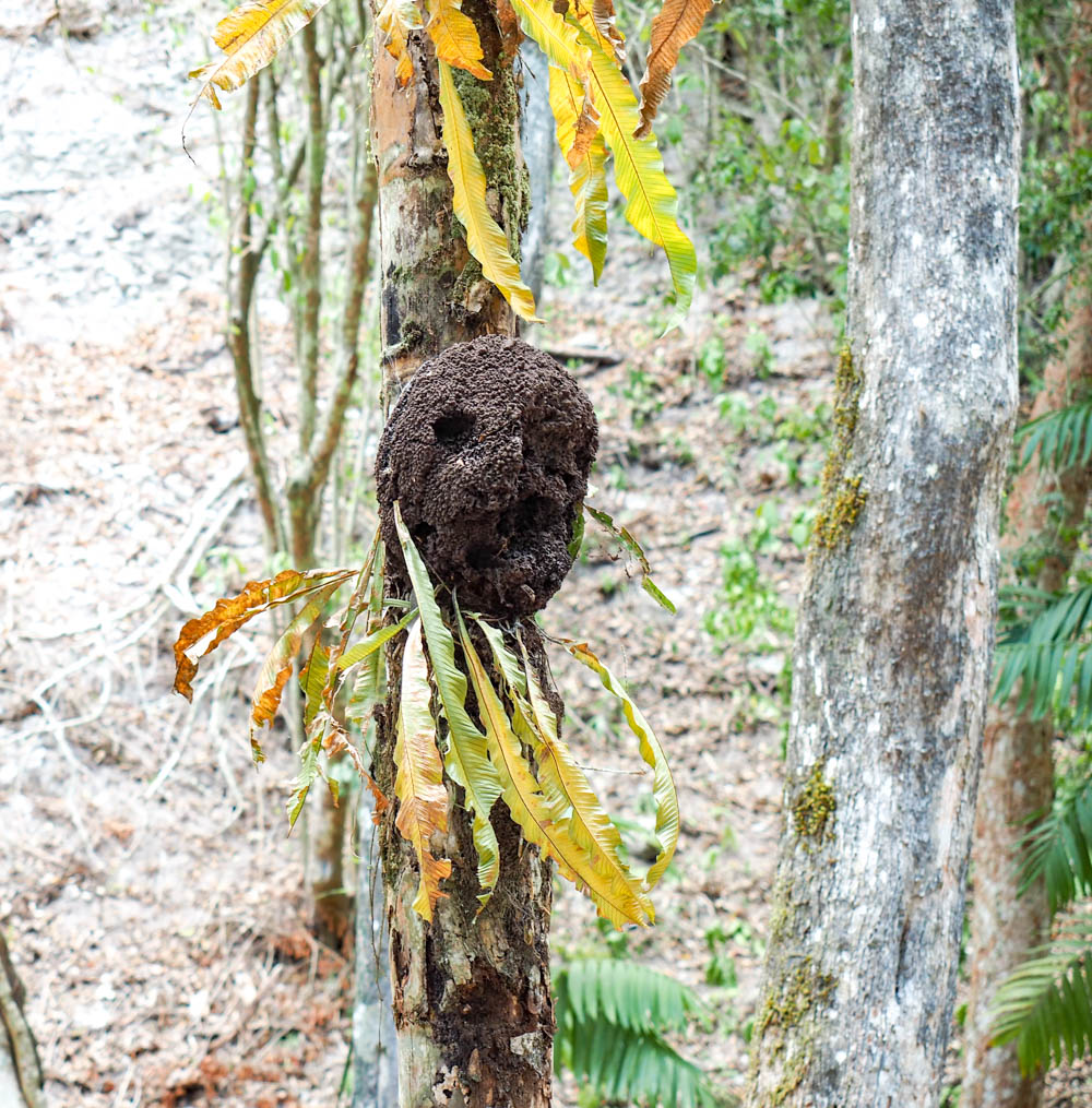 termite nest on a tree in the jungle