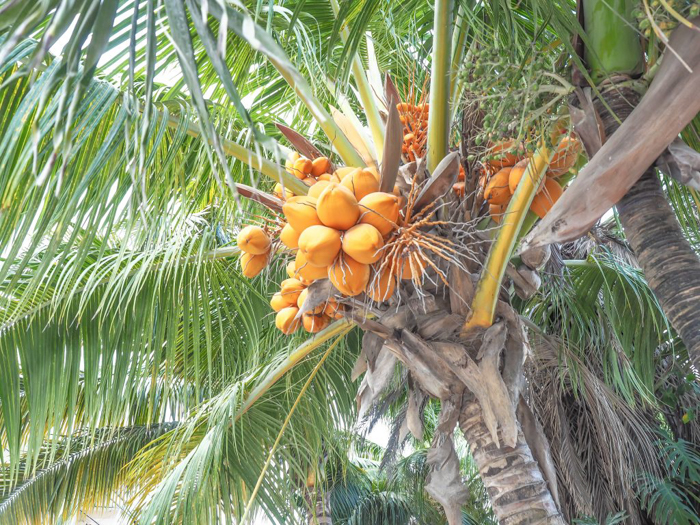 things that shocked me in belize // coconut tree
