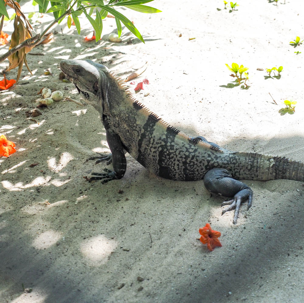 striped iguana in the sand surrounded by tropical red flowers