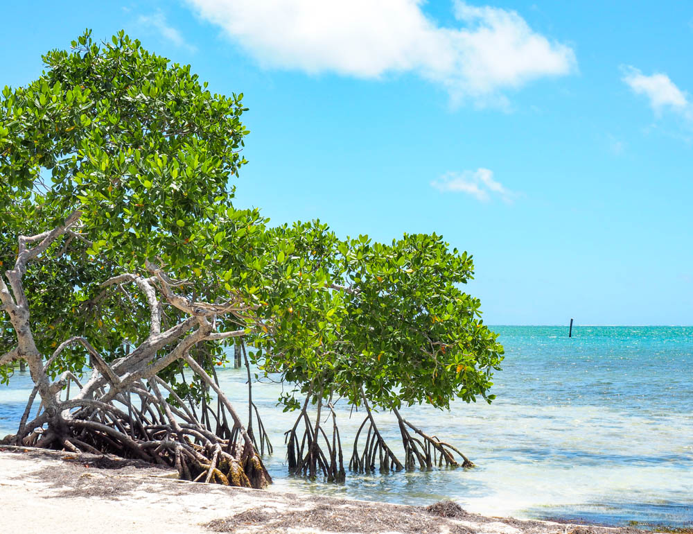 green mangrove trees in the turquoise ocean