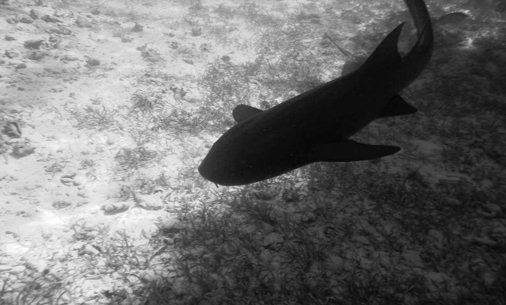 dark silhouette of a shark from above