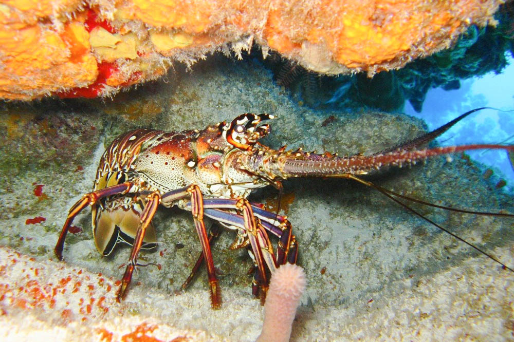 spiny lobster in the ocean