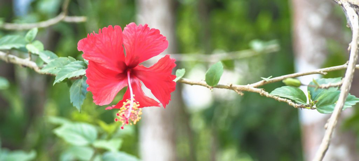Flowers on the hike to the ATM Cave in Belize | Map | San Ignacio, Belize | Cayo District | Tapir Mountain Nature Reserve | Actun Tunichil Muknal | Maya | Mayan archaeological site | skeletal remains | Cave of the Sone Sepulcher | Pacz Tours