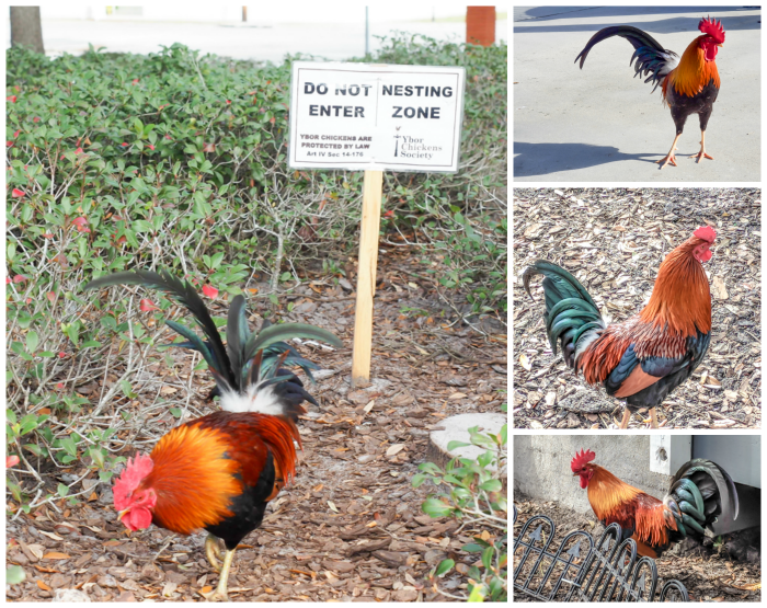 Spend a day in Ybor City | Tampa, Florida | Ybor City wild chickens