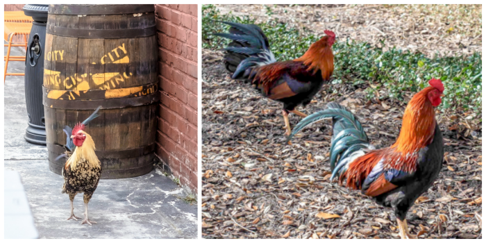 Spend a day in Ybor City | Tampa, Florida | Ybor City wild chickens and roosters