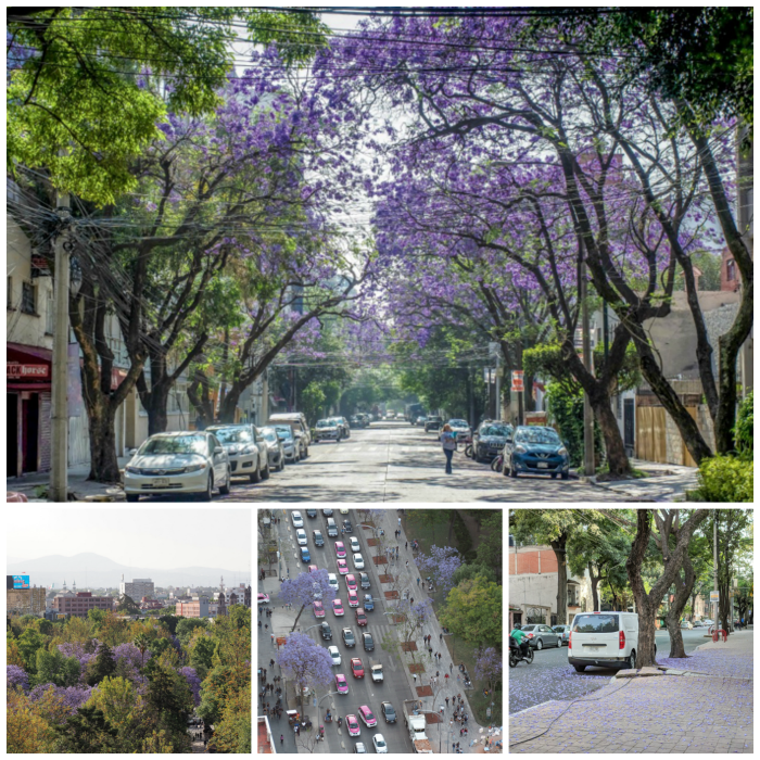 15 essential Mexico City experiences for the best trip ever | Mexico City must-do | Things to do in Mexico City | What to do in Mexico City | CDMX | Mexico DF | Can't-miss Mexico City activities and sights | Mexico City sightseeing | Obsess over the Jacarandas, purple trees