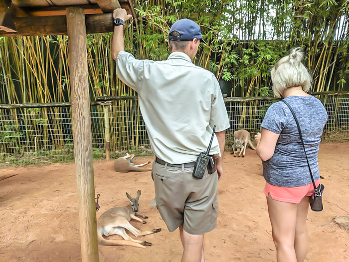 Feeding kangaroos at Busch Gardens // How to use the Tampa Bay CityPASS as a childless adult. #kangaroo #tampabay #florida #citypass #traveltips #vacation #tampa #timebudgettravel