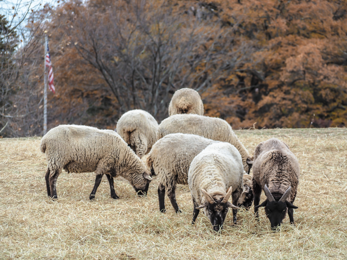 George Washington's sheep at Mount Vernon | Another long weekend in Washington, D.C.
