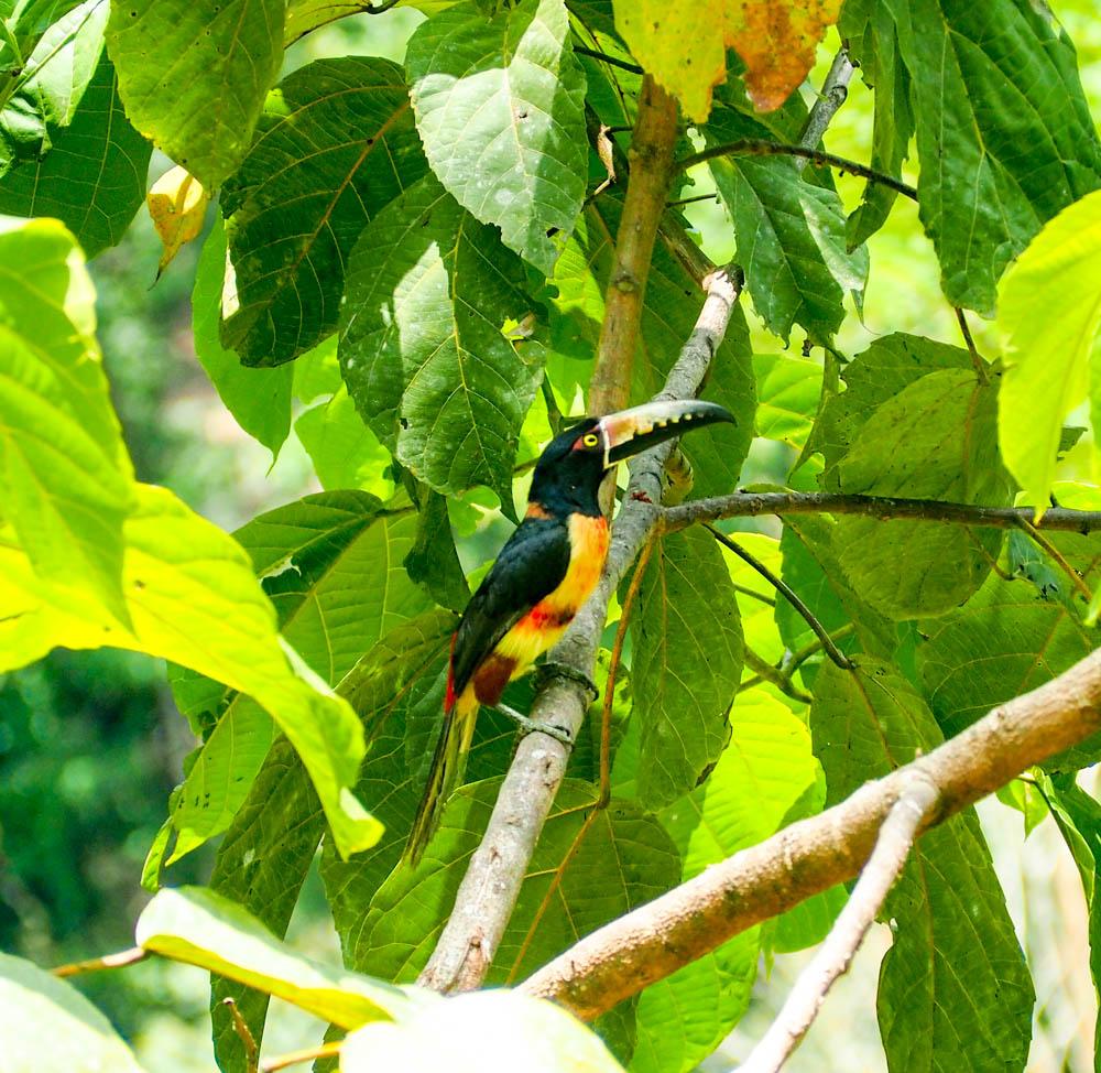 toucan in a jungle tree in Belize