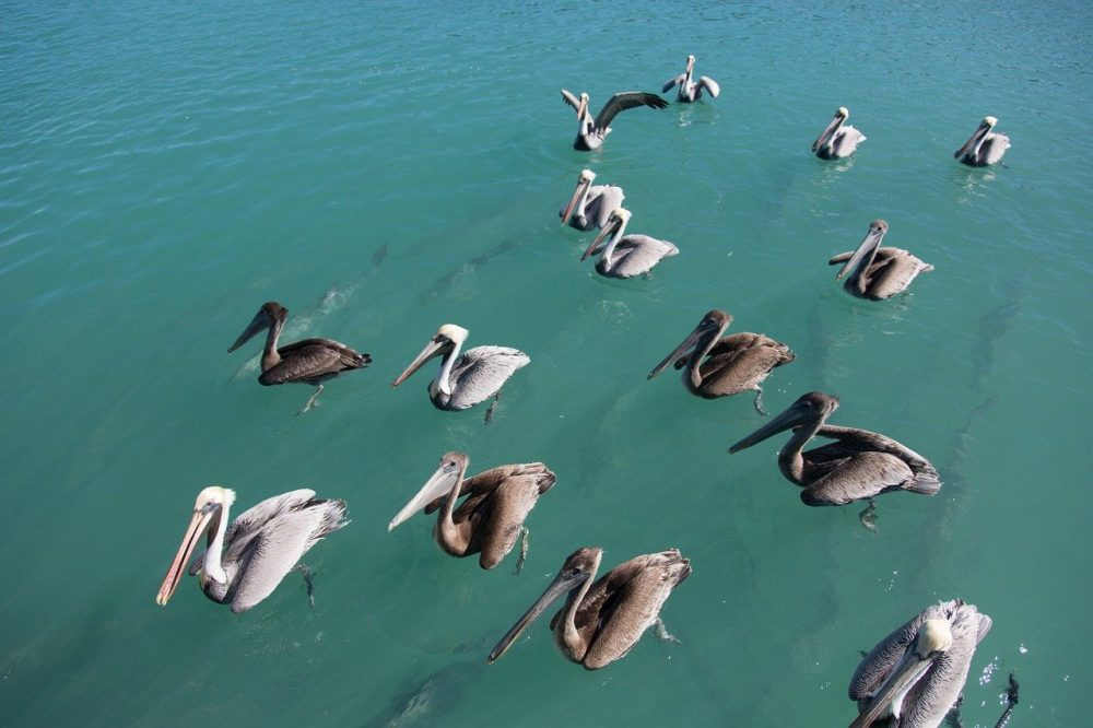 Key West Tips: Helpful Things to Know for a Kickass Weekend in Key West | pelicans