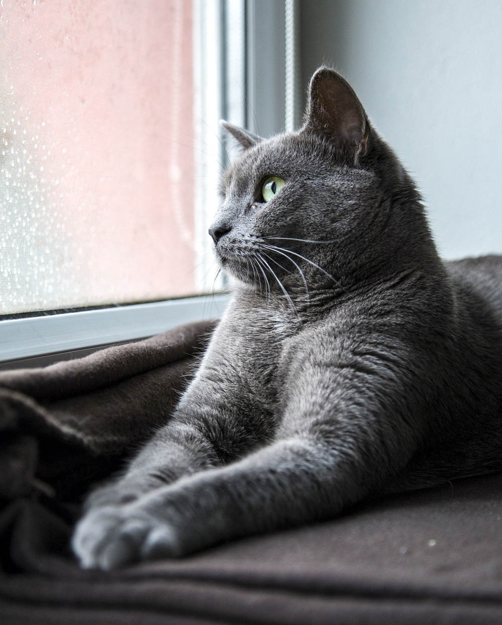 gray cat looking out a window